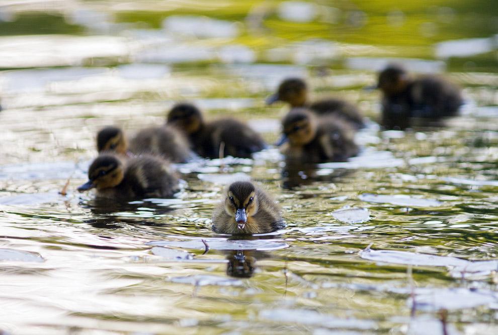 4. На некоторых прудах появились разновозрастные группы в пятнистых купальниках. Это птенцы озе