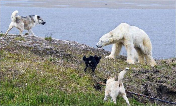 Собаки медведя отгоняки