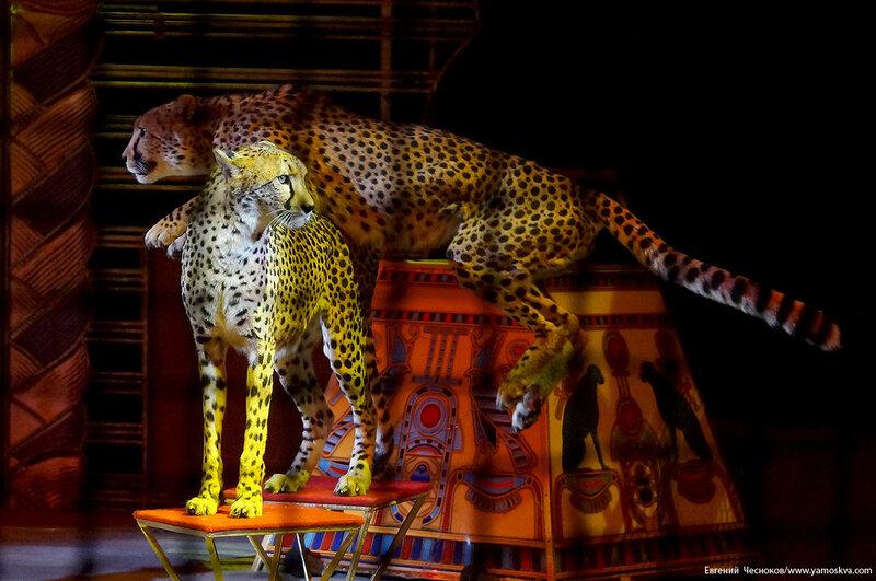 Осень. Цирк Костюк. гепарды. 31.10.16.07б..jpg