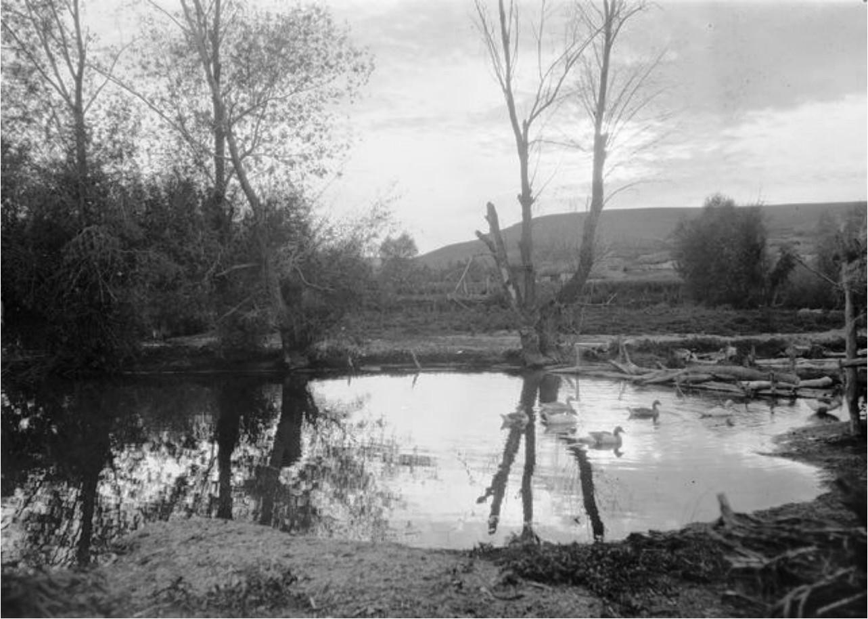 Гуси, плавающие в пруду