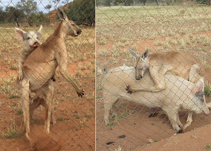 В Австралии кенгуру более года «сожительствует» со свиньей
