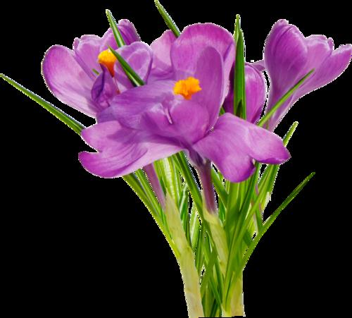 Весенние цветы png