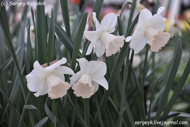 Narcissus Park Perfume.JPG