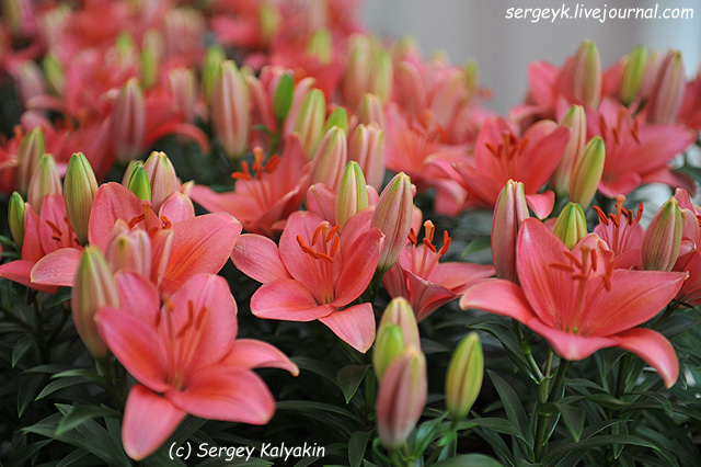 6 Lilium Tiny Toons (3).JPG