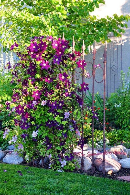 Выращивание клематис в саду 611