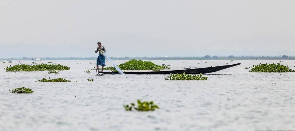 …другие начинают стучать длинными бамбуковыми палками по воде, гоня рыбу в сторону сетей.