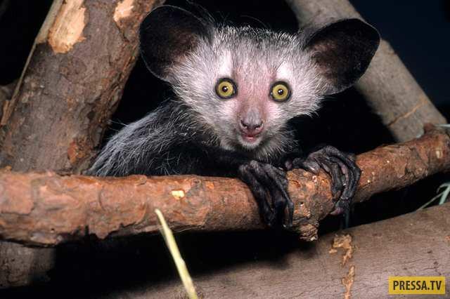 Ай-ай или мадагаскарская руконожка обитает на Мадагаскаре и является ночным животным. Видимо, поэтом