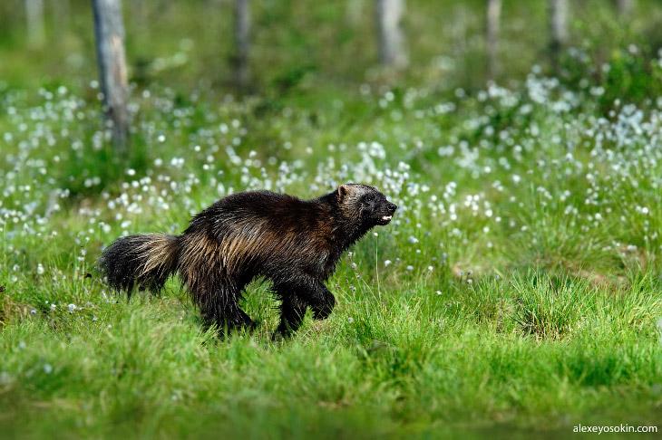 Внешне росомаха напоминает смесь собаки, барсука и медведя. Последнего она напоминает в первую очере