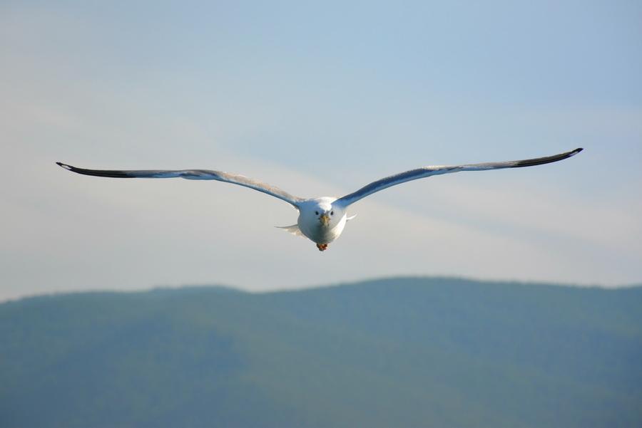 5. Не все знают, что эти милые на вид птицы являются хищниками. Большинство чаек являются плото