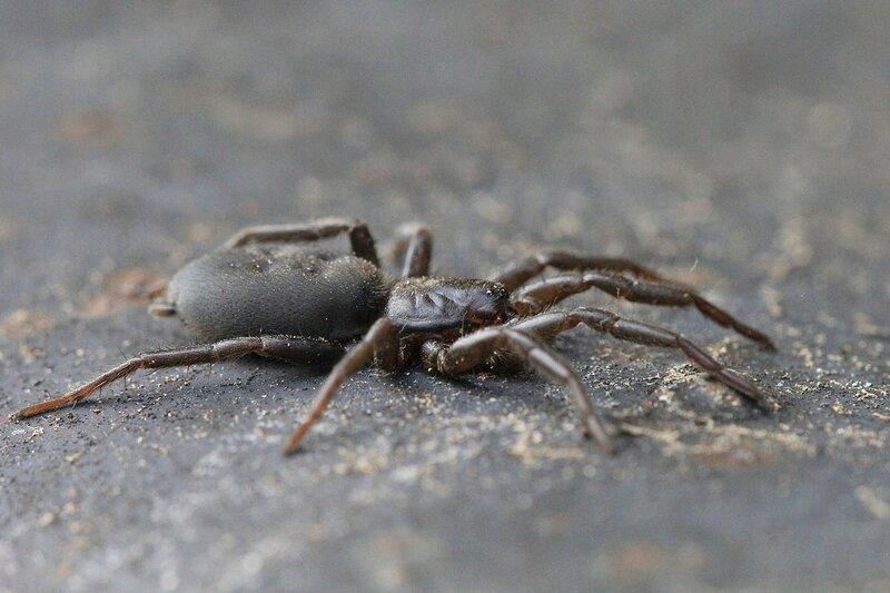 Крупный чёрный паук гнафоза мышевидная (Gnaphosa muscorum), покрытый мелкими волосками, с 4 ямками на брюшке и  парой паутинных желёз сзади