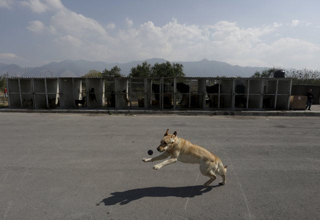 A dog trainer (not pictured) works with a previously abandoned dog at a police centre in Saltillo, M
