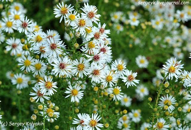 16 Aster ericoides Schneegitter (1).jpg
