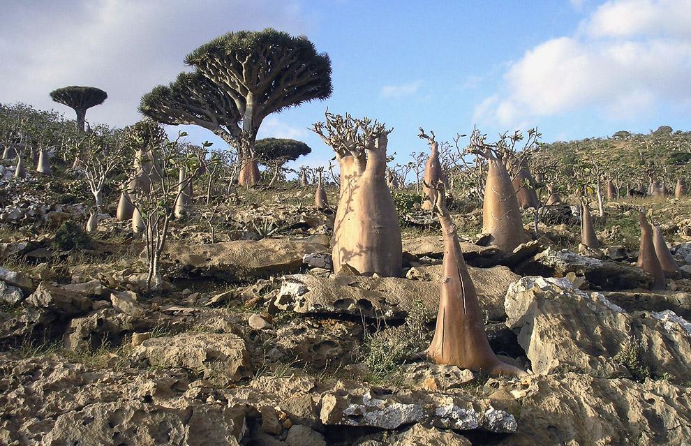 На узком побережье острова Сокотра живут пастухи, рыбаки и земледельцы, которые занимаются разв