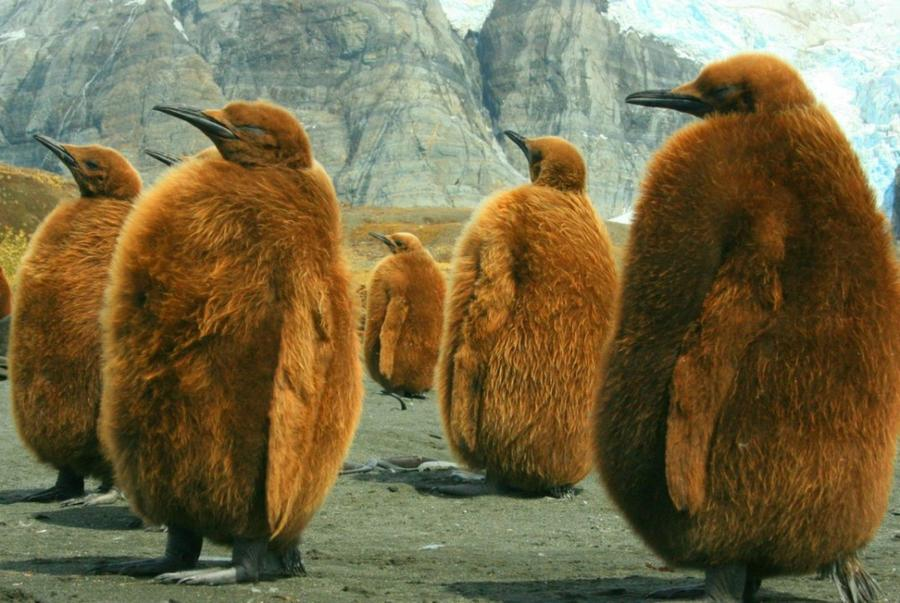 6. Королевский пингвины в Южной Джорджии.