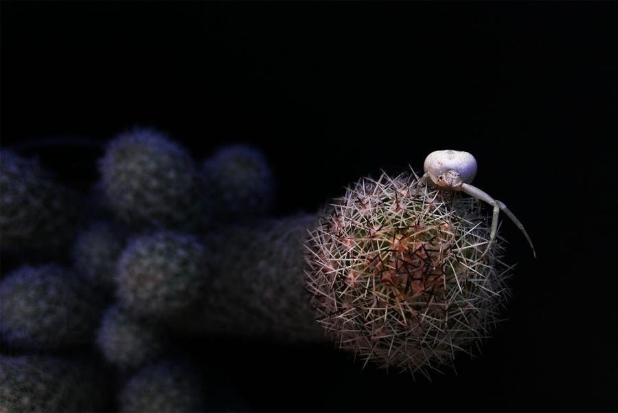 12. Японский краб-паук на кактусе, Нуэво-Леон, Мексика.