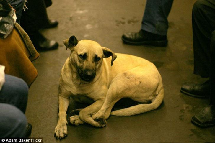 Около 20 собак ежедневно пользуются московским метро. Они ведут себя спокойно в шумной толпе в час п