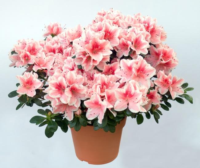 Этот прекрасный цветущий цветок эффективно борется с формальдегидом, который выделяется изфанеры,