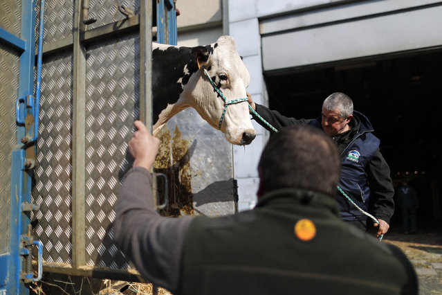 A French farmer leads his cow from a lorry on the eve of the opening of the International Agricultur
