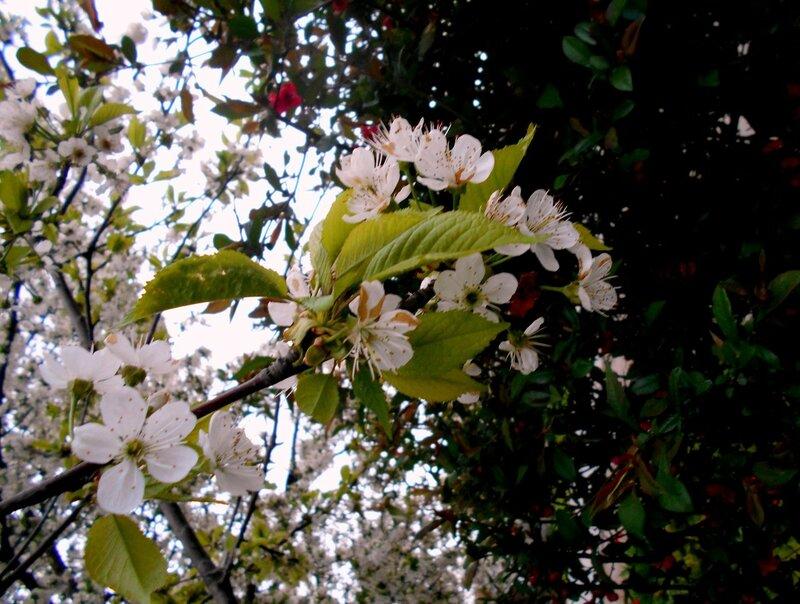 Цветение, апрель ... DSCN5166.JPG