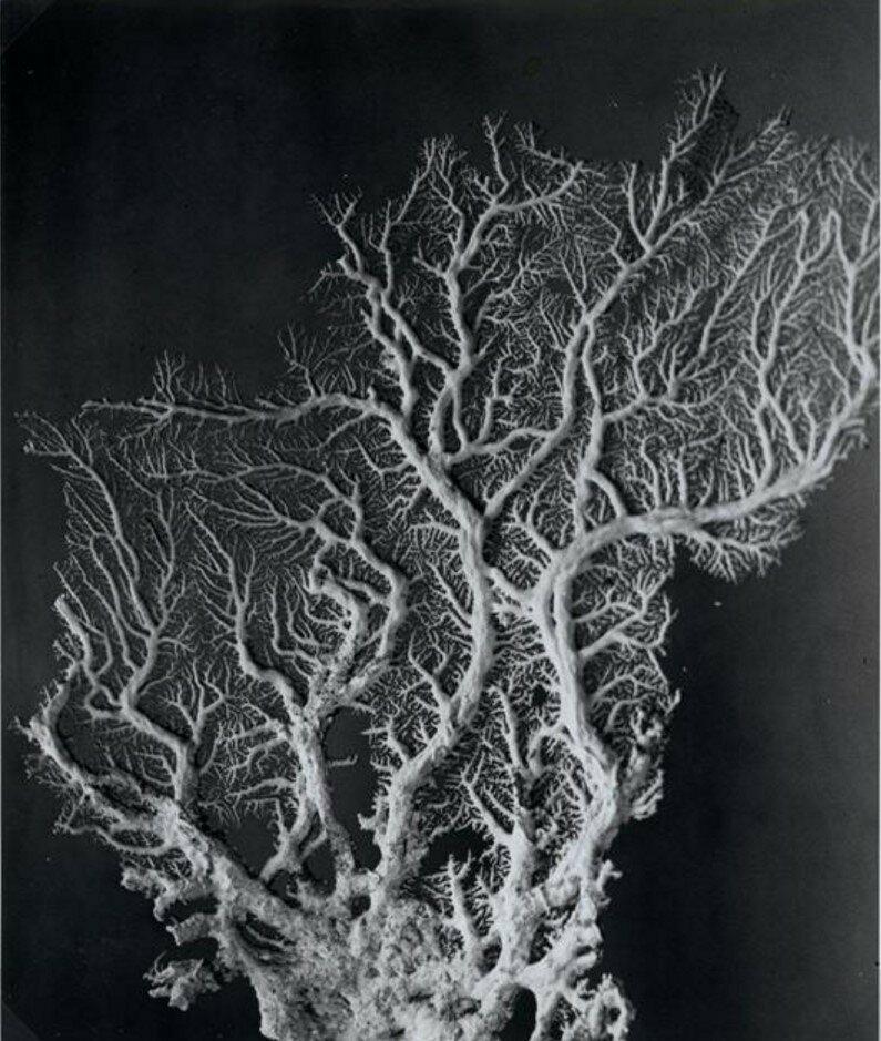 1932-1933. Кораллы