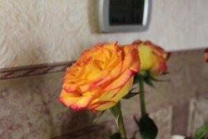капли, розы