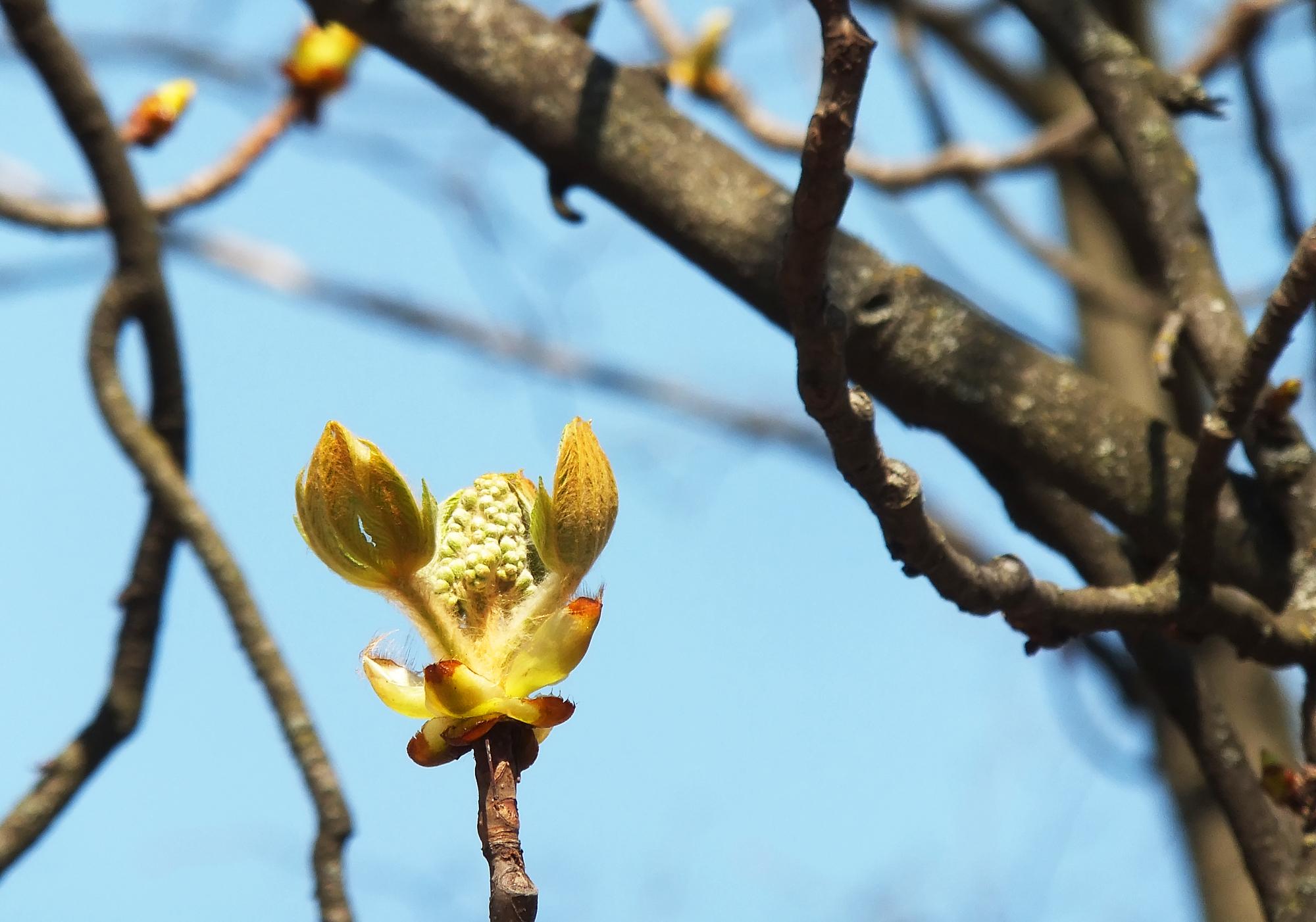 каштан, весна