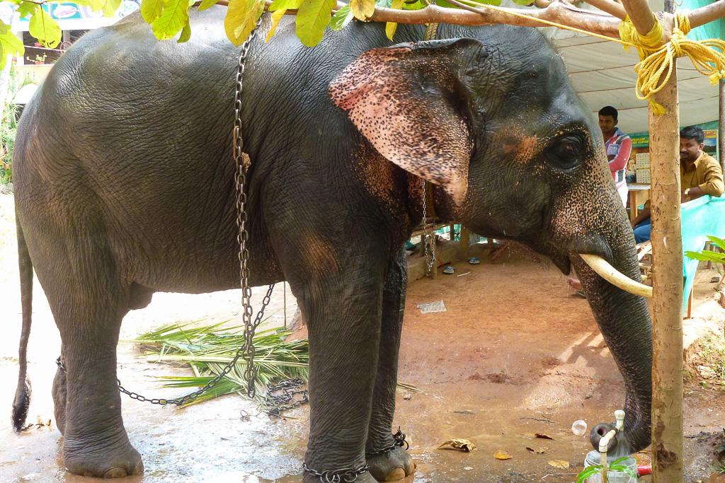 Фотография 2. Индийский слон в Индии. Отдых в Керале. Отзывы туристов