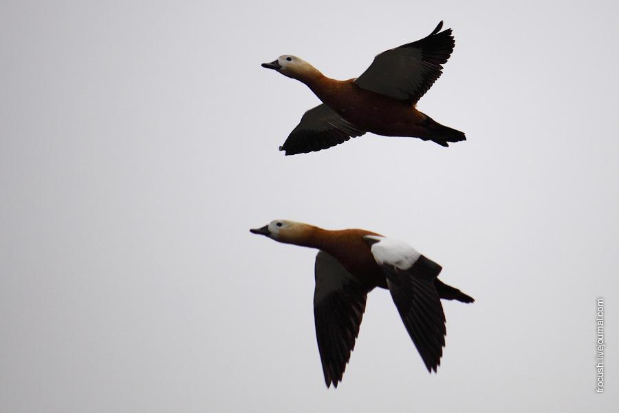 Летящие огари