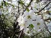 Цветущих вишен влекущий яд (с)