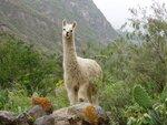 фото животное лама