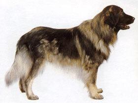 Шарпланинская овчарка