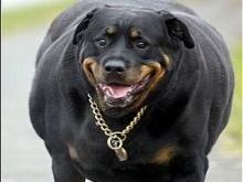 Из-за переедания половина британских собак и кошек страдают ожирением