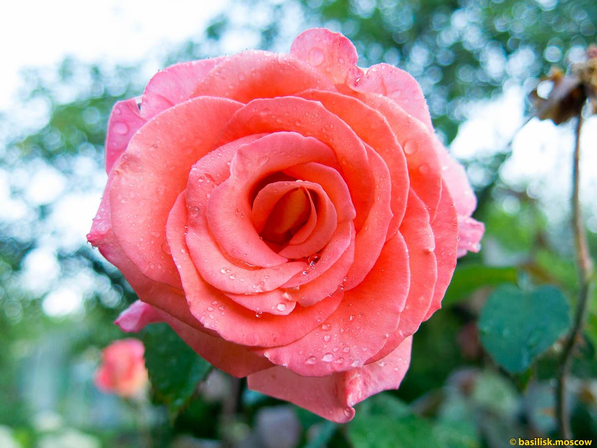 Цветы розы, ягоды и фрукты на даче в ближнем Подмосковье.
