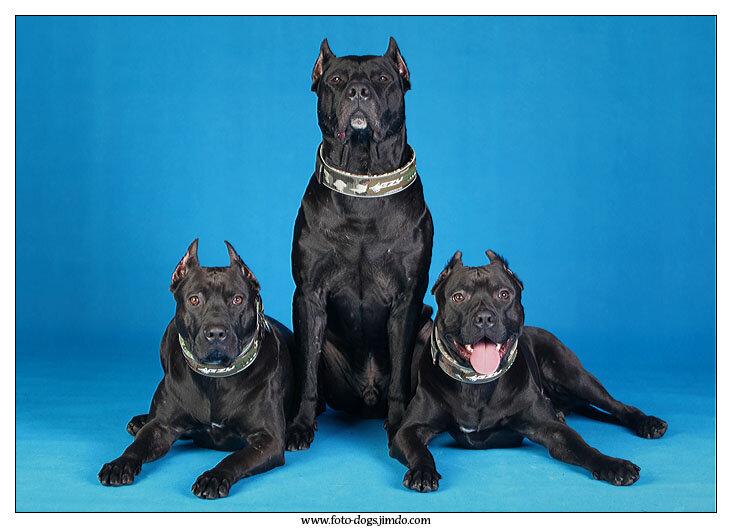 картинки собак питбуль скачать