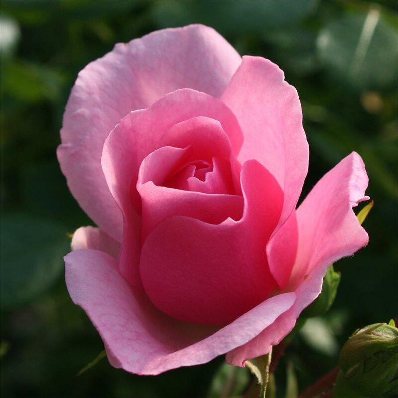 Красивые розы обсуждение на liveinternet