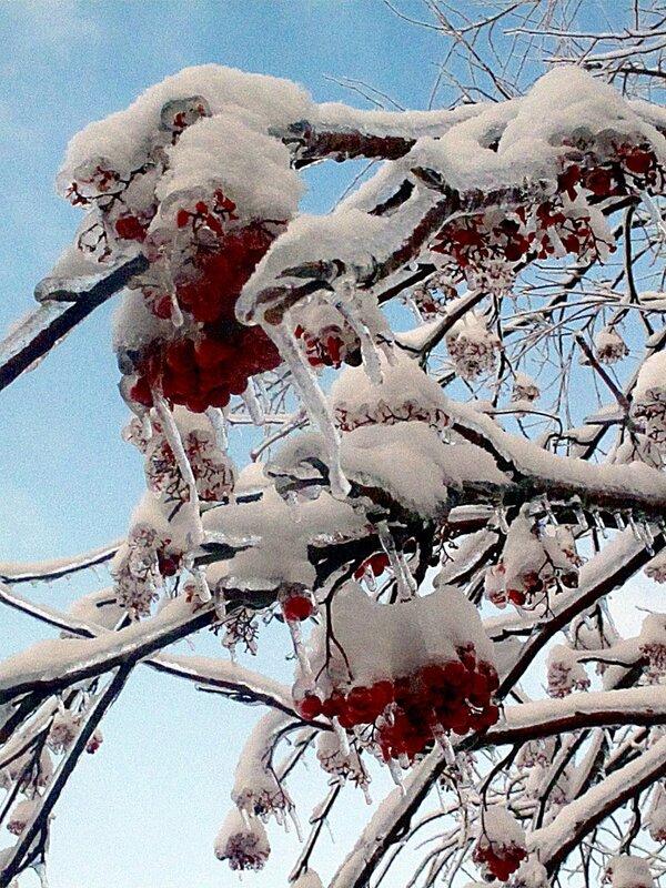 Зима,с.Остров,подворье,райский садик,рябина