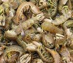 Живые креветки