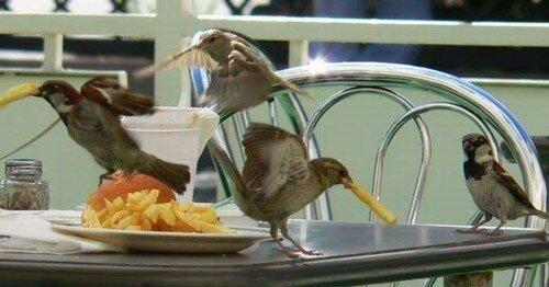 воробьи воруют еду
