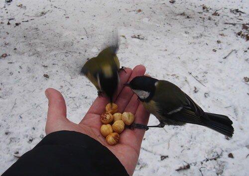 синицы берут пищу из рук человека