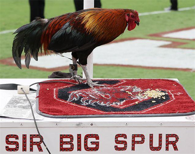 Живые талисманы в студенческом спорте / NCAA Top Real Animal Mascots - Sir Big Spur / South Carolina