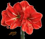Amaryllis1.png