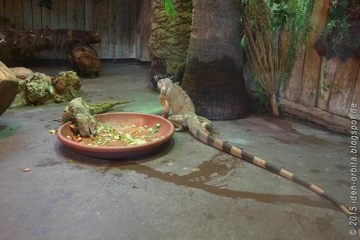 Игуана обыкновенная