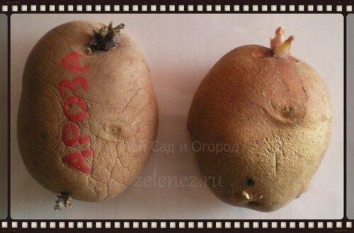 Картофельные клубни раннеспелого сорта Ароза