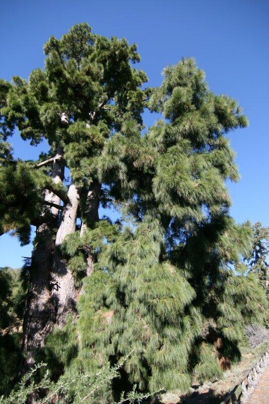 Вилафлор, Тенерифе. Самая большая канарская сосна