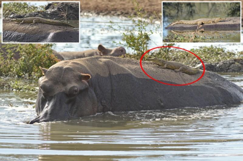 Нильский крокодильчик прокатился на спине ничего не подозревающего бегемота