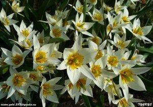 Тюльпаны - Страница 6 0_1581be_ceef935_M