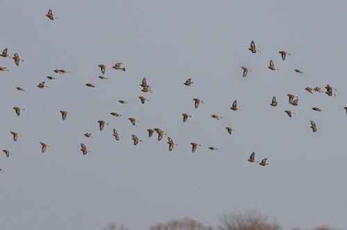 Всю зиму у нас носились стайками 50-100 птиц. Автор фото: Привалова Марина
