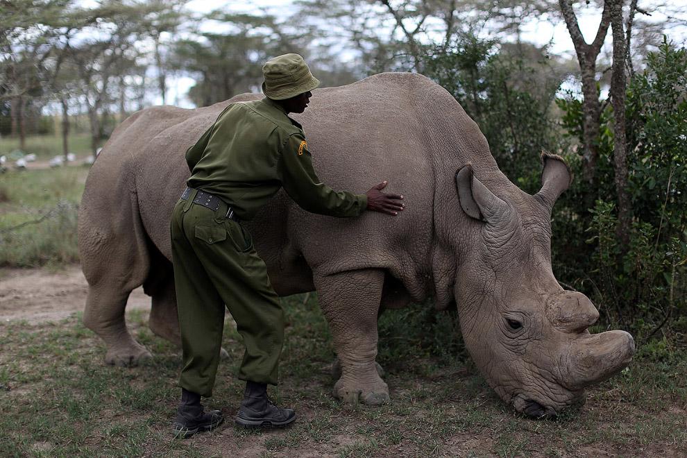 Экологи говорят: существует реальная угроза вымирания слонов в ближайшие 50 лет.