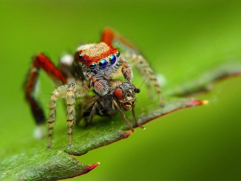 Прыгающие пауки: 4