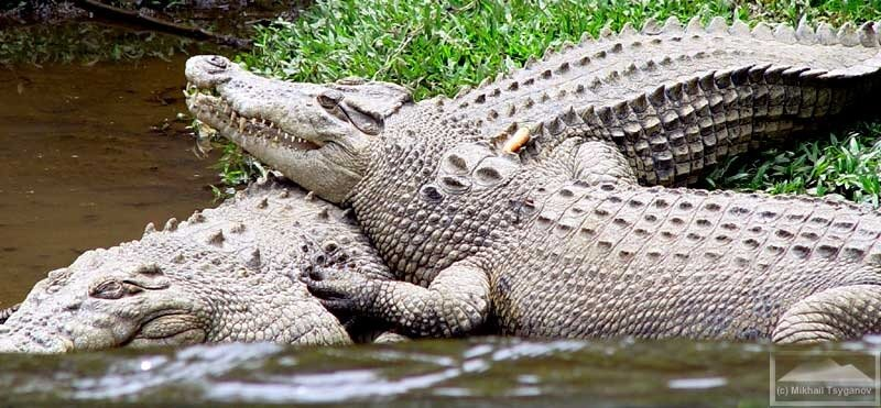 Крокодилы в Сафари-парке
